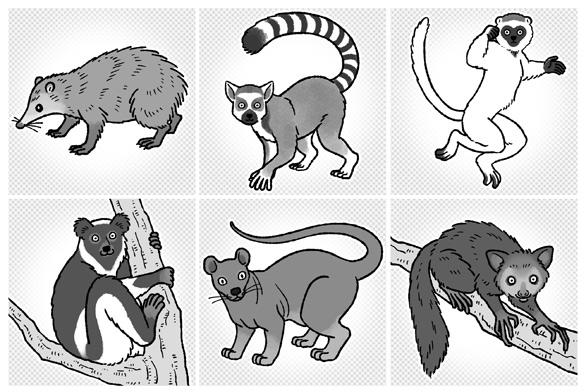 動物イラスト(テンレック,ワオキツネザル,ベローシファカ,インドリ,フォッサ,アイアイ)