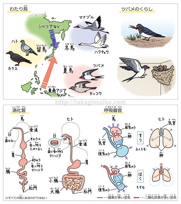 理科の解説イラスト、渡り鳥・ツバメ・消化管・呼吸器官のイラスト(朝日小学生新聞 2019年5月18日付け)